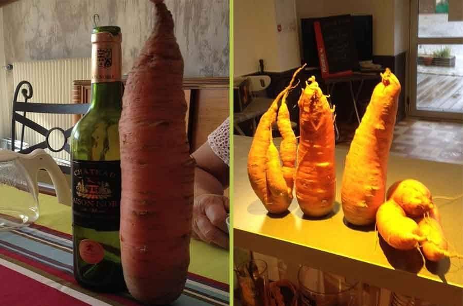 La Chapelle-d'Aurec : des carottes aussi grosses que des bouteilles