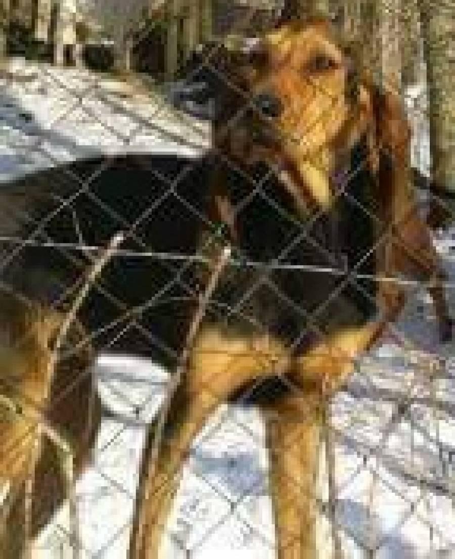 Une chienne bruno du jura disparue à Saint-André-en-Vivarais, aperçue près de Raucoules