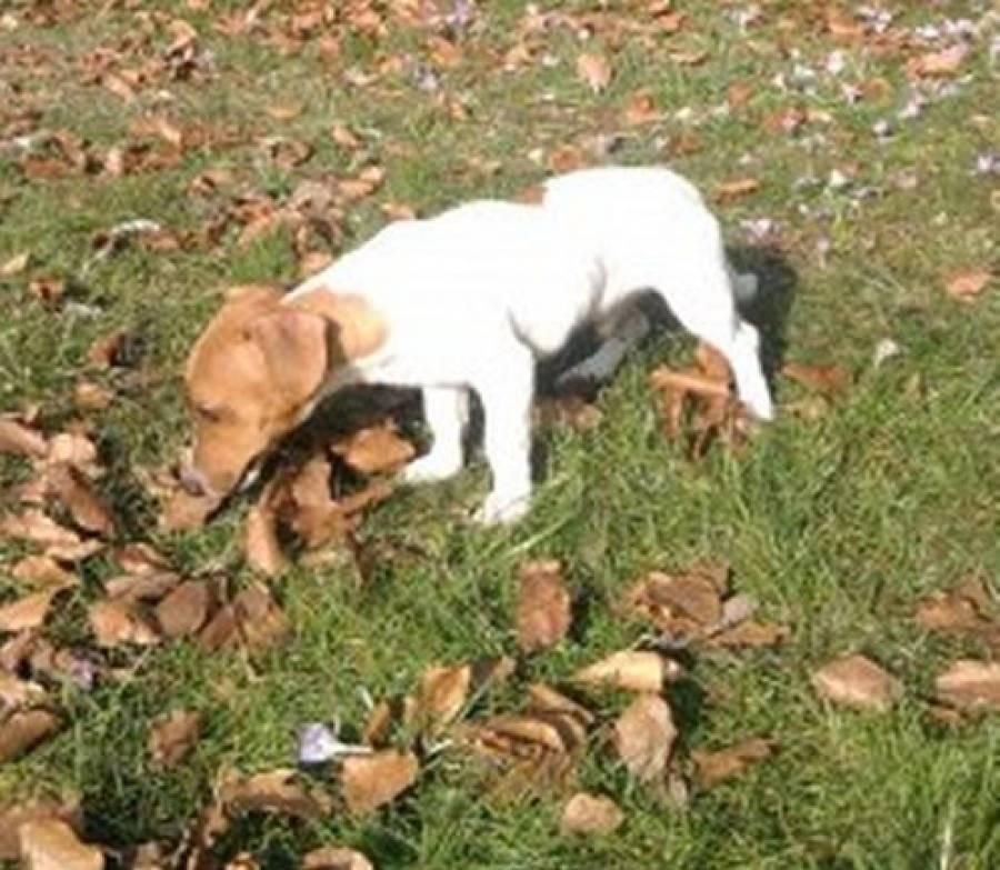 Un chien perdu entre Saint-Jeures et Yssingeaux