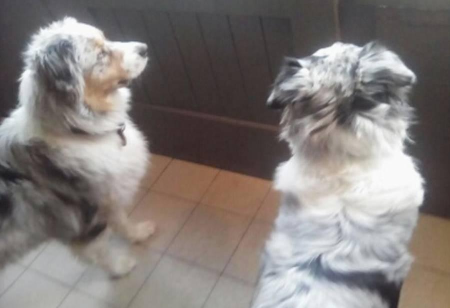 """Une chienne """"berger australien"""" recueillie à Tence"""