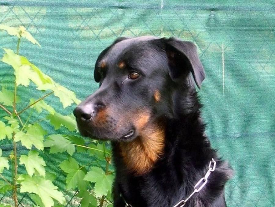 Un chien perdu à Yssingeaux