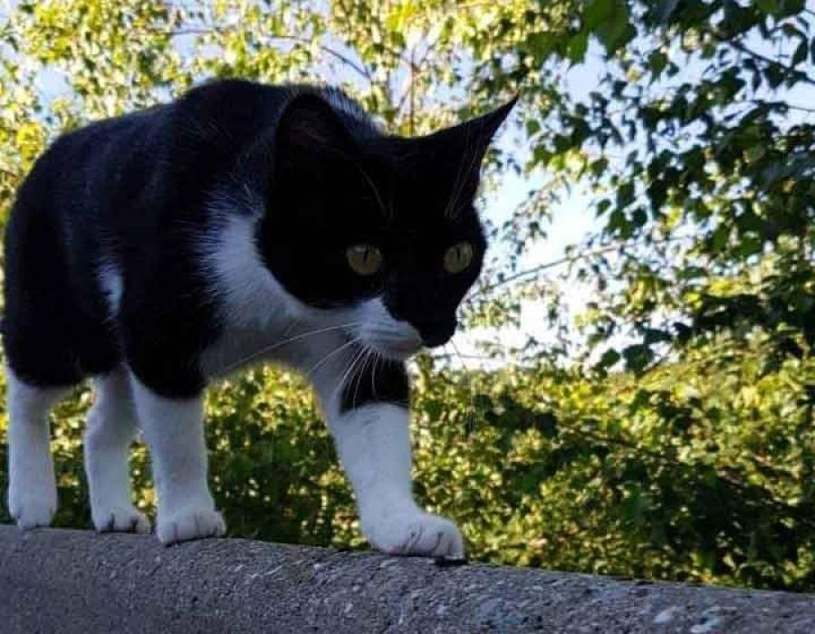 Grazac : une chatte portée disparue