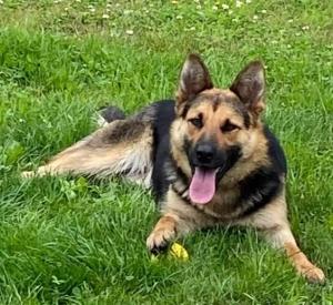 Une chienne perdue à Montfaucon-en-Velay