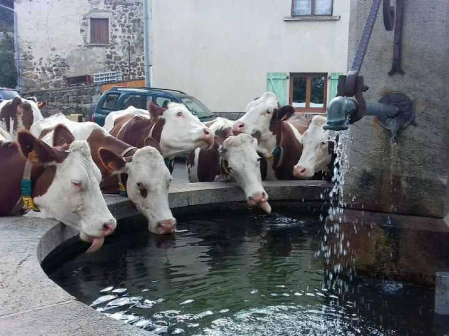 Des vaches boivent tout simplement à la fontaine...