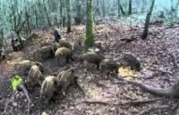 La lutte contre l'agrainage illégal des sangliers se poursuit en Haute-Loire