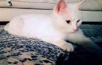 Monistrol-sur-Loire : un chat blanc perdu