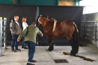 Les chevaux lourds se font tirer le portrait