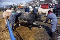 Les Estables : cent bêtes à la foire grasse