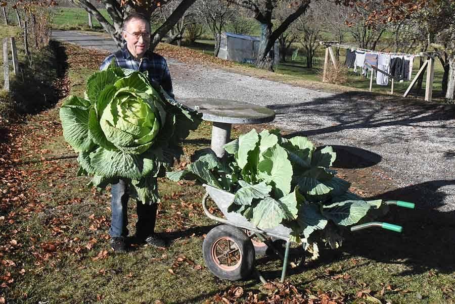 Yssingeaux : un chou aux mensurations généreuses chez un jardinier amateur