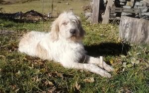 Un chien griffon perdu à Chaudeyrolles