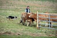 Saint-Hostien : les chiens de troupeau ont assuré le spectacle