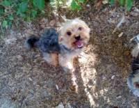 Saint-Geneys-près-Saint-Paulien : un chien a disparu