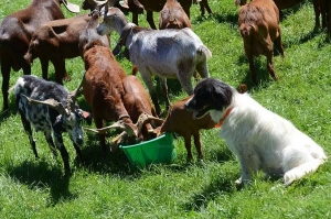 Agriculture : les chevriers inquiets pour la collecte du lait et la baisse des ventes