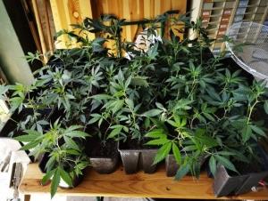 Saint-Etienne-de-Serre : il cultivait du cannabis au-dessus de l'école