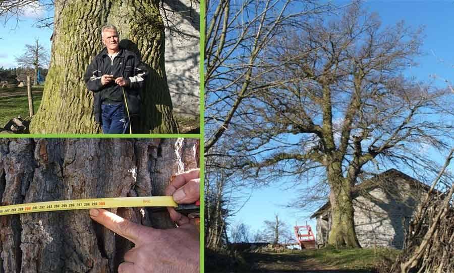 Saint-Didier-en-Velay : un chêne de trois mètres de circonférence