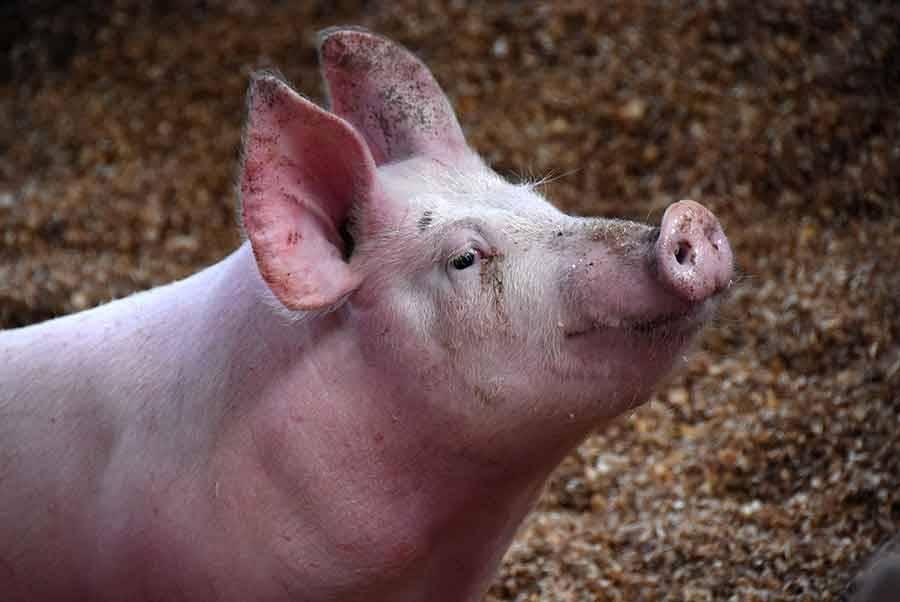 Yssingeaux : la Fête du cochon va en mettre plein la vue le samedi 24 février