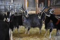 La chèvre du Massif Central reprend du poil de la bête