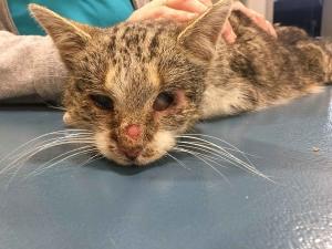 Cussac-sur-Loire : un appel aux dons après le sauvetage d'un chat blessé