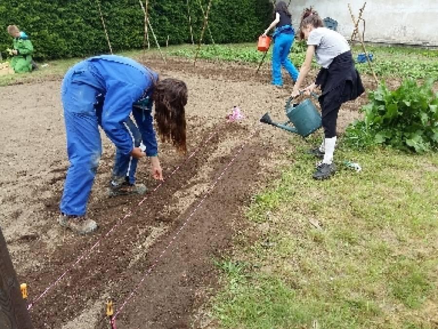 Semis de carottes en ligne et arrosage des semis.