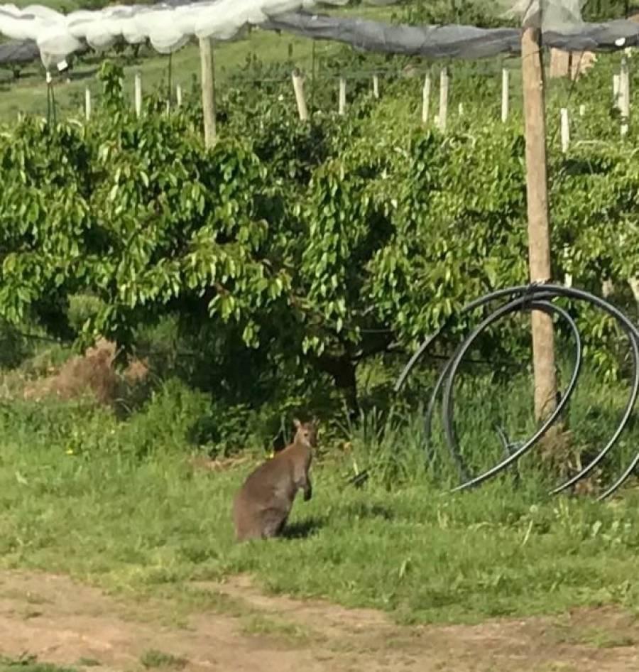 Un wallaby, échappé du zoo de Saint-Martin-la-Plaine, croisé au bord de la route