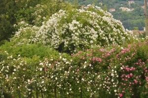 La Journée des roses, c'est dimanche au Jardin de Taulhac