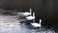 """Si vous passez par Retournac, faites-moi """"cygnes""""... (vidéo)"""